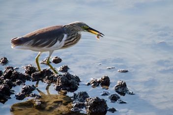 Striated heron on the lake - Free image #136363