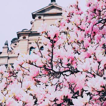 Magnolia tree in blossom - image #136583 gratis