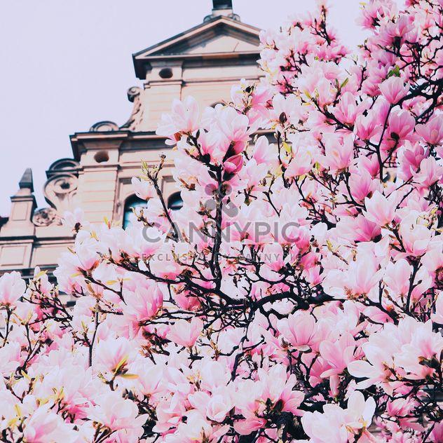 Magnolien-Baum in Blüte - Kostenloses image #136583