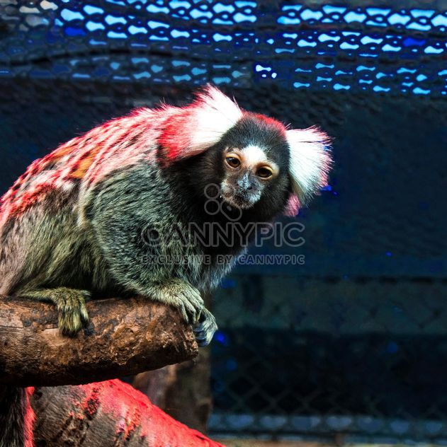 Marmoset monkey in zoo - Free image #136633