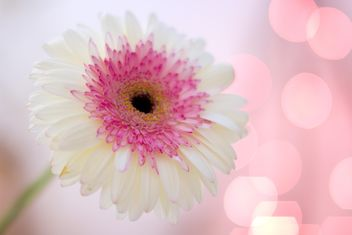 Clsoeup of white gerbera flower - image #182583 gratis