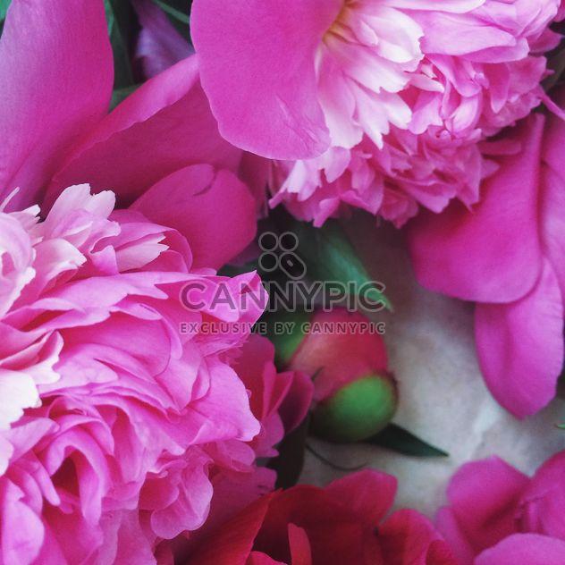 Pink peony flowers - Free image #183193