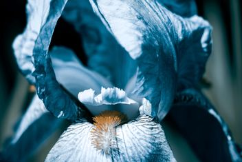 Blue iris close-up - Free image #183613