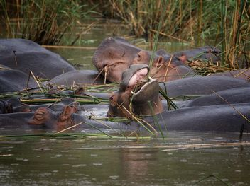 African wild hippopotamus under water - бесплатный image #183873
