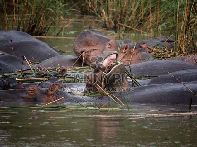 Africaine sauvage hippopotame sous l'eau - image gratuit #183873