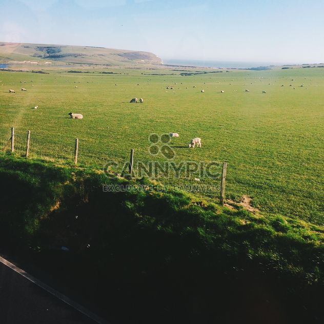 Sheep on green pasture in England - Free image #183943