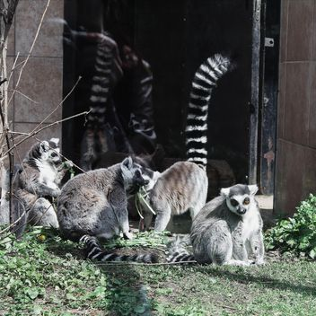 Lemurs in Zoo - Free image #184303