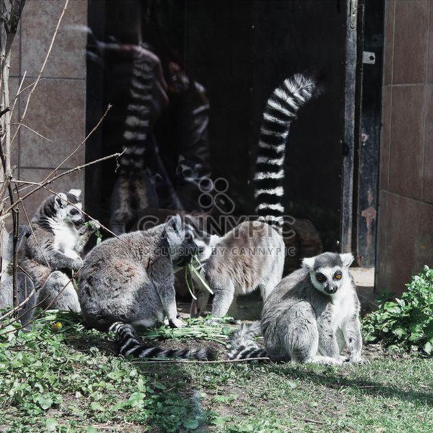 Лемуры в зоопарке - бесплатный image #184303