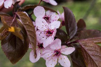 Cherry tree blossom - image gratuit #184463