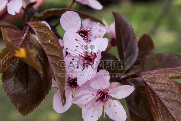 Вишневое дерево цвести - бесплатный image #184463