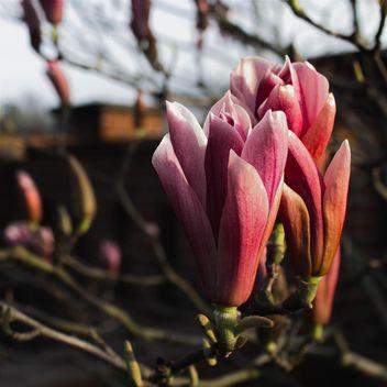 Pink Magnolia - бесплатный image #184573