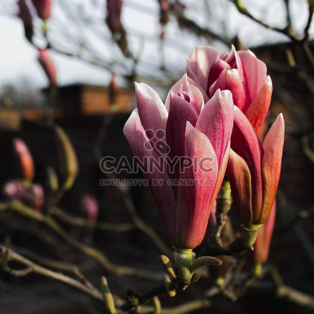 Pink Magnolia - Free image #184573