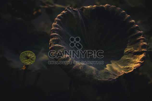 Lotus leaves in pond - Free image #186083