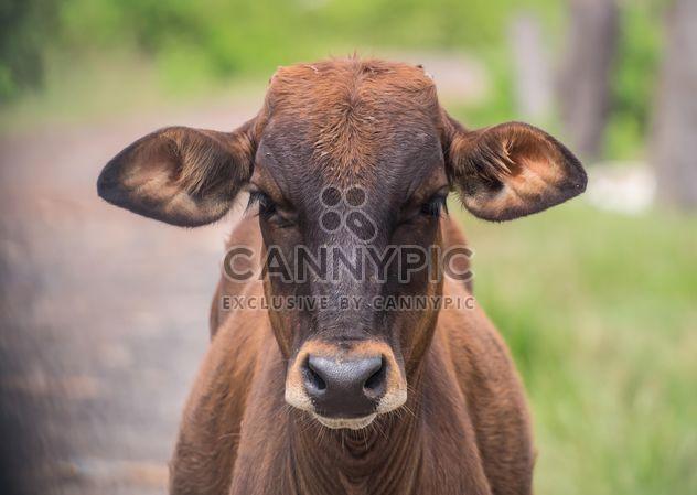 Корова портрет - бесплатный image #186533