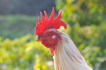 Portrait of white gamecock - Free image #186563