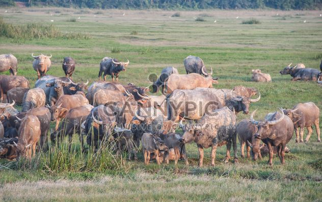 Herd of buffaloes on the field - Free image #186583