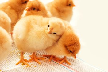 Cute small chickens - Free image #186633