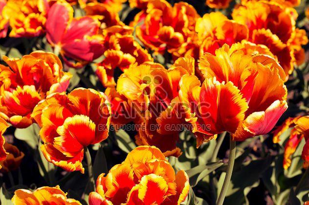 Tulipes orange dans jardin - image gratuit #186753