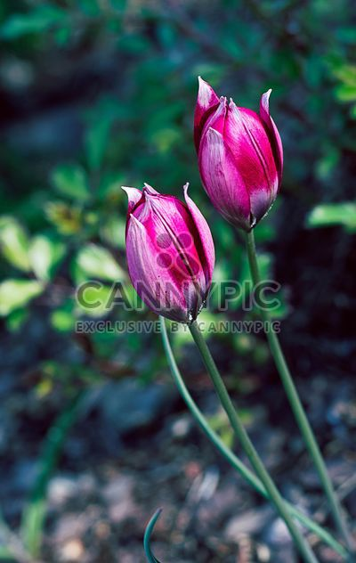 Close-up of pink tulips - Free image #186763