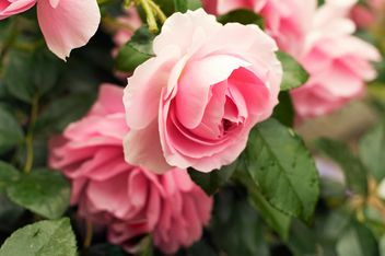 Pink rose in garden - Free image #186793