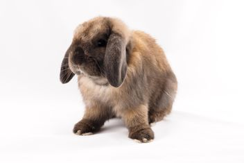 Holland lop rabbit - image gratuit #186943