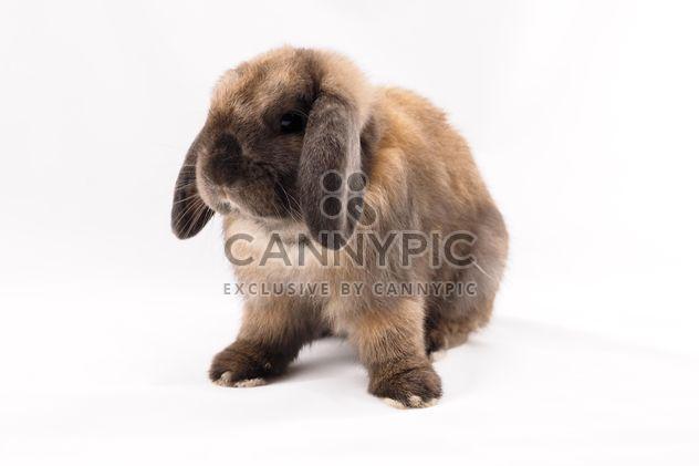 Holland lop rabbit - image gratuit #186943