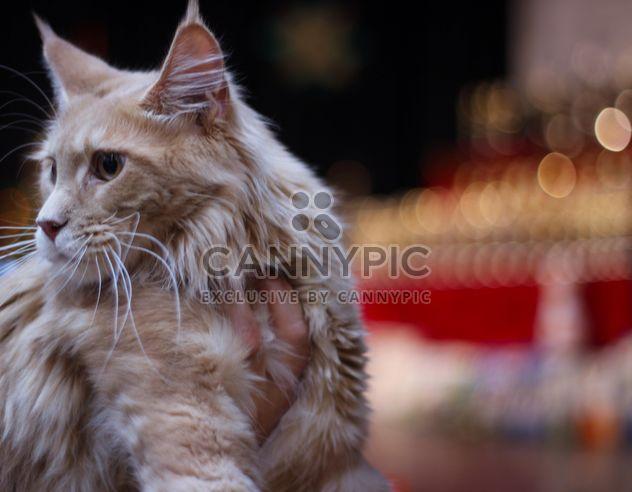 Большие пушистые кошки - бесплатный image #187323