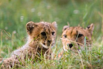 Cheetah baby with mother in grass - image #187433 gratis