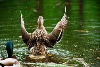 Ducks splashing in pond - бесплатный image #187783