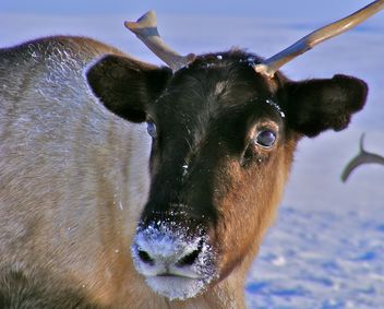 Spring on the Yamal Peninsula - deer - Free image #197893