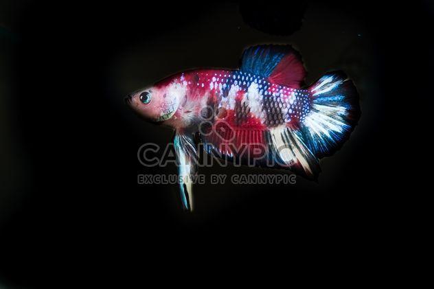 Siamese fighting fish in nano tank - Free image #198003