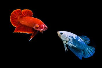 Siames fighting fishes - Free image #198063