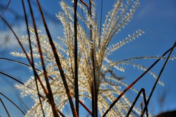 Reeds on the blue sky backgtound - бесплатный image #198163