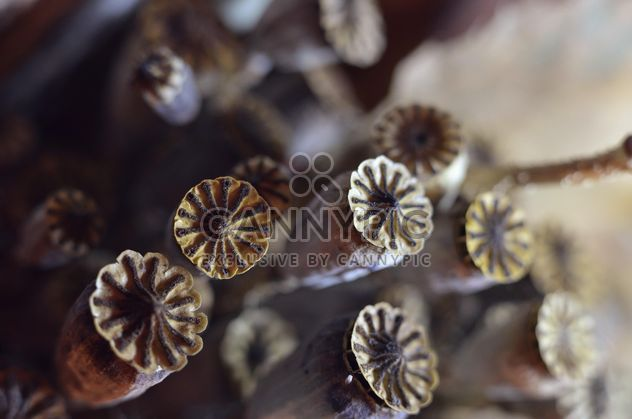 Poppy seed pods - Free image #198193