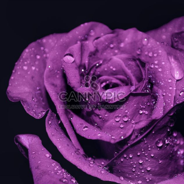 Purple rose with water drops - Free image #198203