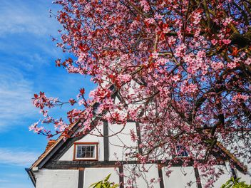 English cottage behind blooming tree - бесплатный image #198273