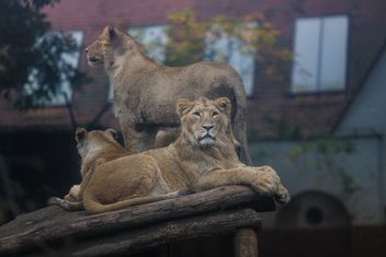 lions in budapest zoo - image gratuit #198653