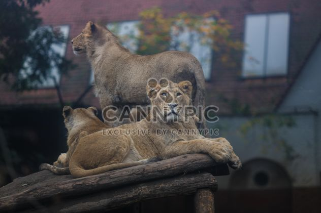 lions in budapest zoo - Free image #198653