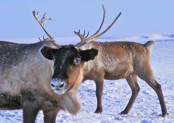 Reindeers - Free image #199003
