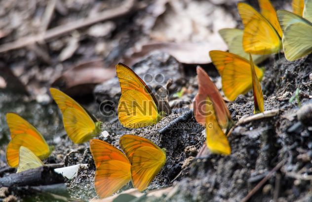 Yellow butterflies - Free image #199043