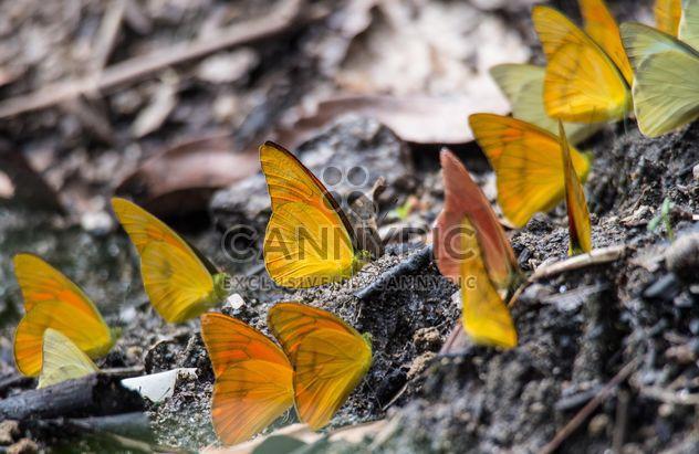 Borboletas amarelas - Free image #199043