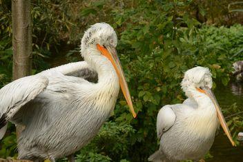 Pelican - image #201453 gratis