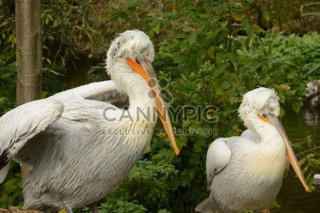 Pelican - Free image #201453