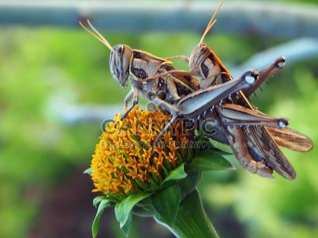 Dos saltamontes en el primer plano de flor - image #201513 gratis