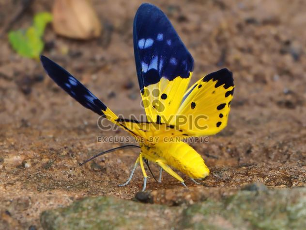 The Spotted Golden-looper moth butterflie macro - Free image #201533