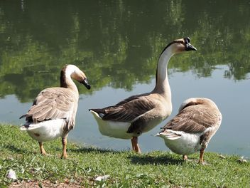 Goose in the park called - Free image #201573