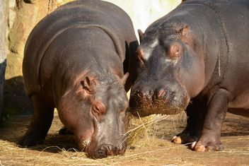 Hippos In The Zoo - image gratuit(e) #201583