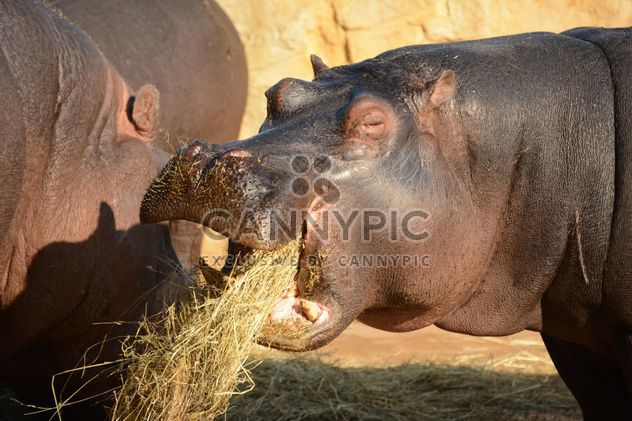 Hippo In The Zoo - image #201593 gratis
