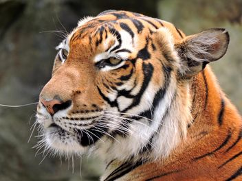 Tiger Close Up - Kostenloses image #201603
