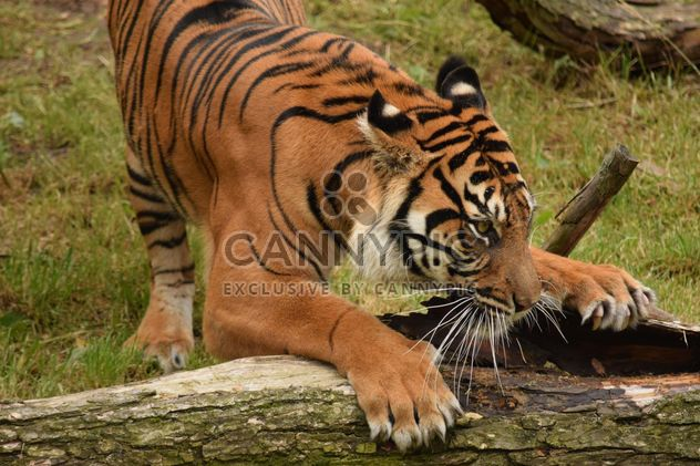 Tiger in the Zoo - Free image #201623